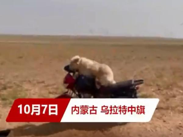 狗子每天坐摩托陪主人放羊 还会帮忙赶羊...